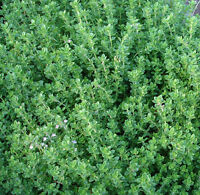 Thyme English Winter - 3000 Seeds - Thymus Vulgaris