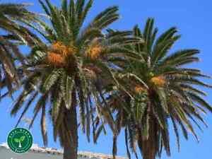5 seeds Canary Island Date Palm PHOENIX CANARIENSIS Pineapple Palm+ 5s Sunflower