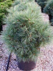 Pinus strobus Radiata in 9cm pot ideal bonsai subject grafted