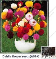 50pcs bag Mixed Colors Dahlia Rare Dahlia Charming Chinese Flower Seeds Bonsai P