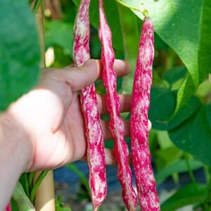 Dwarf Bean (BORLOTTI) Vegetable Organic Healthy Food Garden 20 Seeds. Ins Inc x