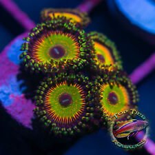 New listing Hyper Jubilee - Wysiwyg Live Coral Frag- Top Tier Aquatics