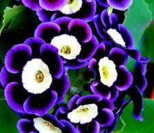 Mariandl Stunning Tricolor Petunia Annual Indoor Bonsai Flower Seeds Professiona