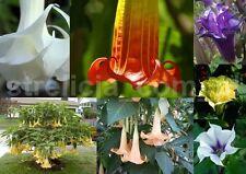 Angel's Trumpet _______ DATURA ____BRUGMANSIA___in  seven __colors  !!!