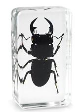 Real Chinese Black Stag Beetle Insect Paperweight Specimen Taxidermy