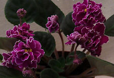 African violet sun Sizzle pair of leaves