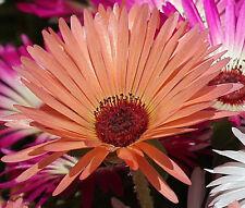 ICE PLANT GELATO ORANGE Dorotheanthus Bellidiformis - 1,000 Bulk Seeds