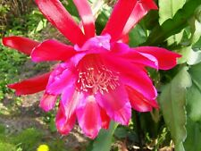 Jungpflanze Epiphyllum KarminROT Hybride Blattkaktus Kakteen Epi Riesenblüte