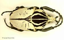 Goliathus goliatus quadrimaculats/intermedius- male, nice specimen, size 75mm