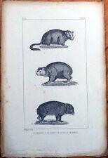Marmot/Monax/Klipdas 1830s French Animal Print - La Marmotte du Cap