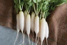 Organic Radish Seeds - White Icicle Rare Heirloom  Non GMO Over 300 Seeds