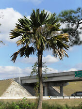 Sabal palmetto 'Lisa' - 10 seeds Extremely Rare Cold Hardy Mutant? Palm