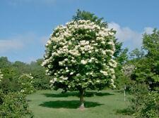Japanese Tree Lilac (Syringa reticulatis) 15 Fresh Seeds