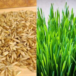 Organic SWEET OAT GRASS SEEDS CAT PETS GRASS JUICING SPROUTING 10g 50g 500g 1kg