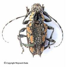 Psapharochrus laetificus - pair, very nice