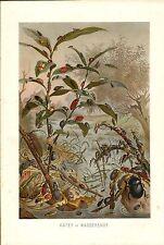 Stampa antica INSETTI SCARAFAGGI IN AMBIENTE ACQUATICO 1891 Old Antique print