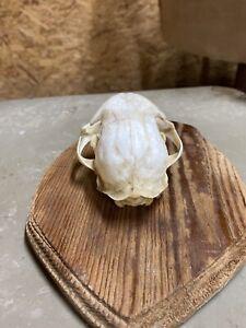 bobcat skull Tex