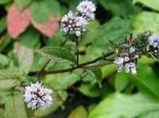 250 PEPPERMINT Mint Mentha Peperita Herb Flower Seeds