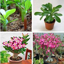 5PCS Rare Desert Pink Rose Seeds Adenium Obesum Bonsai Tree Plant Flower Decor