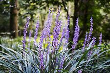 40 X GIANT Lily Turf Liriope Fresh SEEDS Evergreen Flowering Hardy Border Plant
