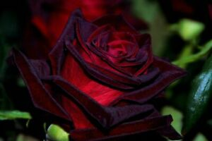 BLACK Magic  Rose Bush Seeds 10 seeds per pack~~ USA grown and shipped