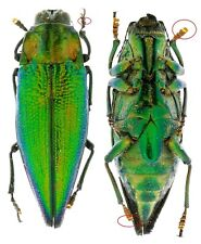 Obi Is 20 x Demochroa sp Buprestidae