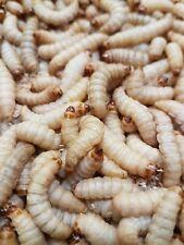 Aktionspreis!!  Bienenmaden ( Wachsmottenlarven ) lebend XXL  ( 100 , 250 Stück)