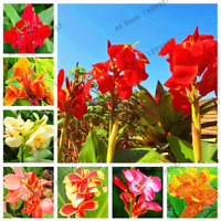 Bonsai Flowers Plants Potted Canna Lily Variegated Foliage 100 PCS Seeds 2019 N