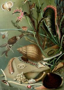 1895 Antique lithograph MOLLUSCS SEA SNAILS Sea Life Seashells Shells Mollusk
