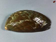 Haliotis asinina, Samar Isl., Philippines, 108,9 mm, GIANT, SUPER COLORS