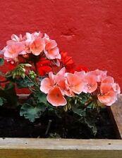 10 Horizon Deep Salmon Geranium Pelargonium Flower Seeds *Combined S/H & Gift!