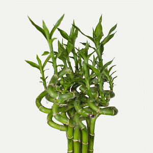5 stück lucky bamboo  Glücksbambus Dracaena Sanderiana 60cm lang +/-