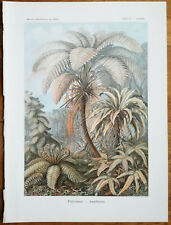 HAECKEL: Original Print Filicinae Palm Fern Plate 92 1st. Edition - 1900