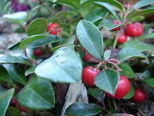 Gaultheria procumbens TEABERRY Edible Fruit - Shrub Seeds!
