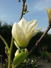 Magnolie Magnolia Yellow Bird 40-60cm Frühlingsblüher