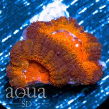 New listing Asd - 025 Sun Spot Acan - Wysiwyg - Aqua Sd Live Coral Frag
