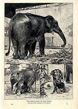 Wilhelm Kuhnert Eine Elefantenmutter mit ihrem Jungen im Zoo Histor.Druck v.1903