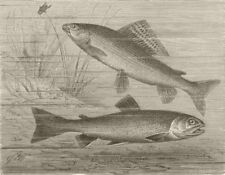 FISH. Grayling and charr 1896 old antique vintage print picture