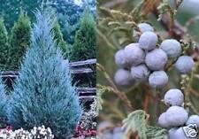 Rarität Super-Riesenbaum Mexican Juniper / Naturwunder Zimmerfarn Nadelgehölze