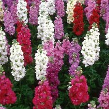 Stock Giant Column Seed Mix Scented Annual Mixed Colours Matthiola incana cv