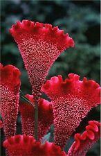 Cockscomb Flower Seeds - Garden Seeds - Bulk
