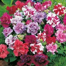 Flower Seeds Double Petunia Duo Mix F1 (Petunia x hybrida) Annual