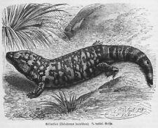 Gilatier Skorpion-Krustenechse Heloderma horridum  Holzstich 1892   G. Mützel