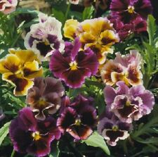 Pansy Seeds Victorian Mix 50 Seeds