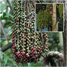 Caryota urens 20 Seeds, Palmae Tree Seeds, Fishtail Palm, Wart Fishtail Palm