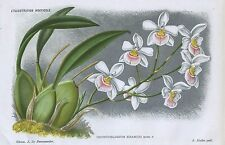1885 ODONTOGLOSSUM KRAMERI ORCHIDS Genuine Antique Botanical Print LINDEN