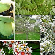Yellowhorn CINESE Fioritura Chestnut! Albero/arbusto RARO BONSAI semi, Xanthoceras