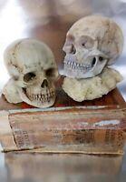 Lote de 2 cráneos 15,50 la ud. CRÁNEO HUMANO Color marfil Calavera decorativa