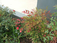 NANDINA DOMESTICA SACRED BAMBOO 200 Seeds FROSTS OK Fresh Sep 17