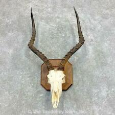 #22141 P | Impala Skull & Horns European Taxidermy Mount For Sale